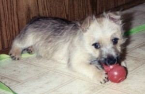 Gus as a puppy with his first Kong