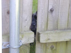Dulcie through the fence - August 2000