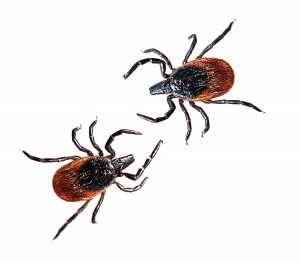 Deer Ticks-canstockphoto13960474
