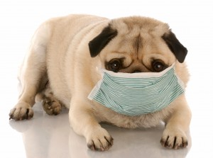 Pug in mask-canstockphoto2476742