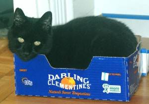 Our cat Batman in a clementine box