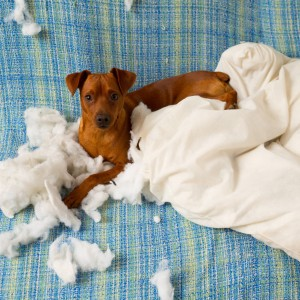 naughty playful puppy dog after biting a pillow-canstockphoto11002737