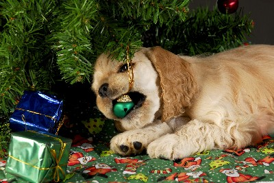 puppy chewing ornament-canstockphoto5124992 400x267
